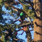 Lumberjacks Trimming Pine Tree