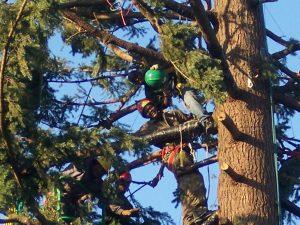 Lumberjacks Trimming Pine Tree