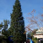 Tall Natural Christmas Trees - Egan Acres Tree Farm
